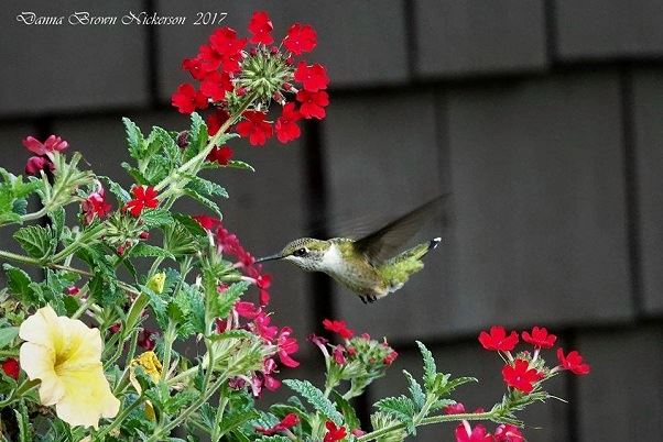 Male Hummingbird on bright red flowers by Danna Brown Nickerson