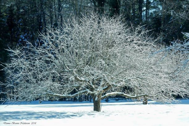 Tree covered in ice and snow (Danna Brown Nickerson)1