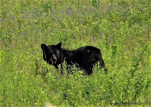 Black Bear playing in a green grassy field with purple wild flowers by Danna Brown Nickerson