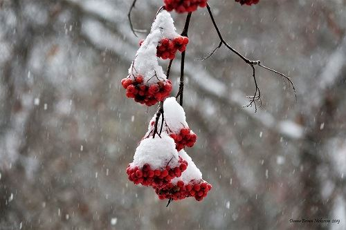 Red berries covered in snow by Danna Brown Nickerson
