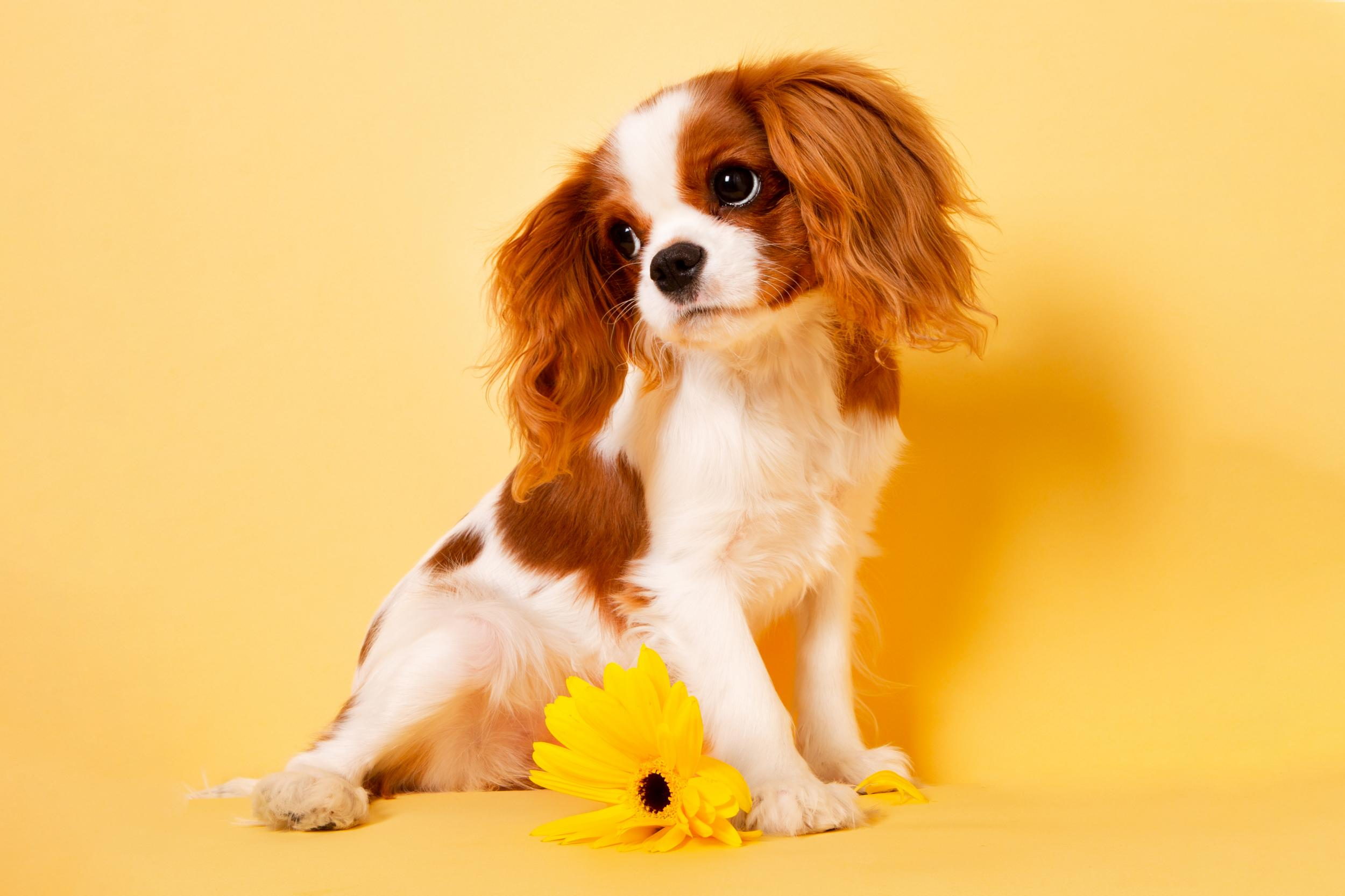 Small Spaniel Puppy with yellow flower