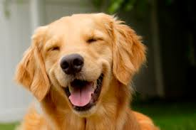 smily golden retriever