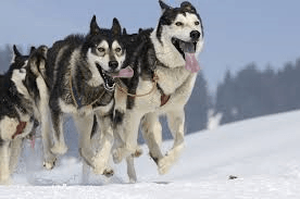 2 black and white sled dogs running on snow with tongues hanging out