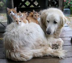 orange and white kittens sleeping on back of white golden retriever dog on outside deck